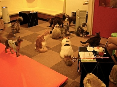 Hostesses, hosts and other lonely denizens of Kabuki-cho often relax at cat cafés. At the Kalico cat café, every breed waits to be petted by adoring customers.