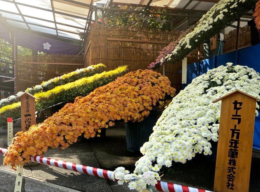 ChrysanthemumElvis