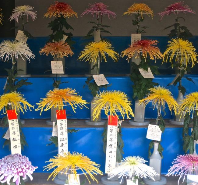 ChrysanthemumsSpider