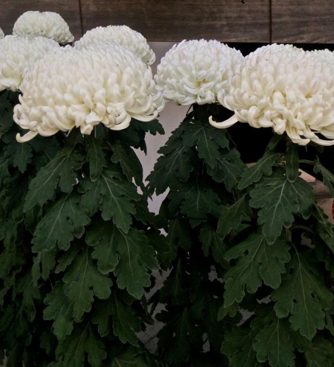 ChrysanthemumsWhite