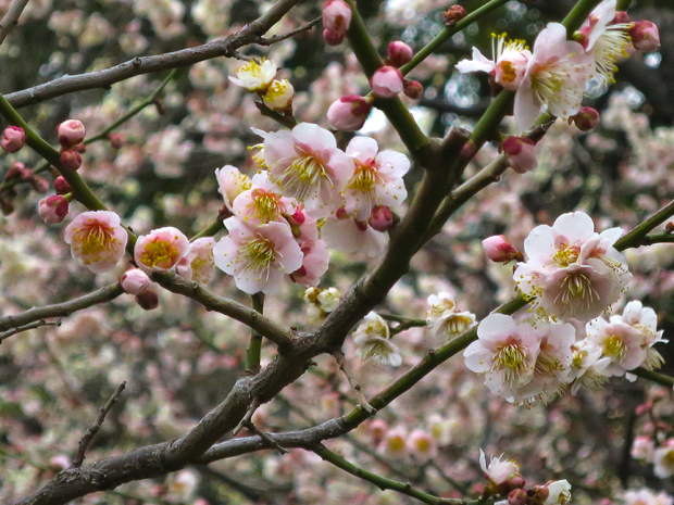 Yushima shrine's plum blossom festival goes for the whole month of February, and the trees are glorious.