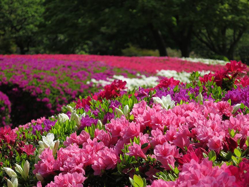 The first azaleas to bloom are the red ones, the last are white. At any one time, several colors are in full riot, and the mix changes every day.