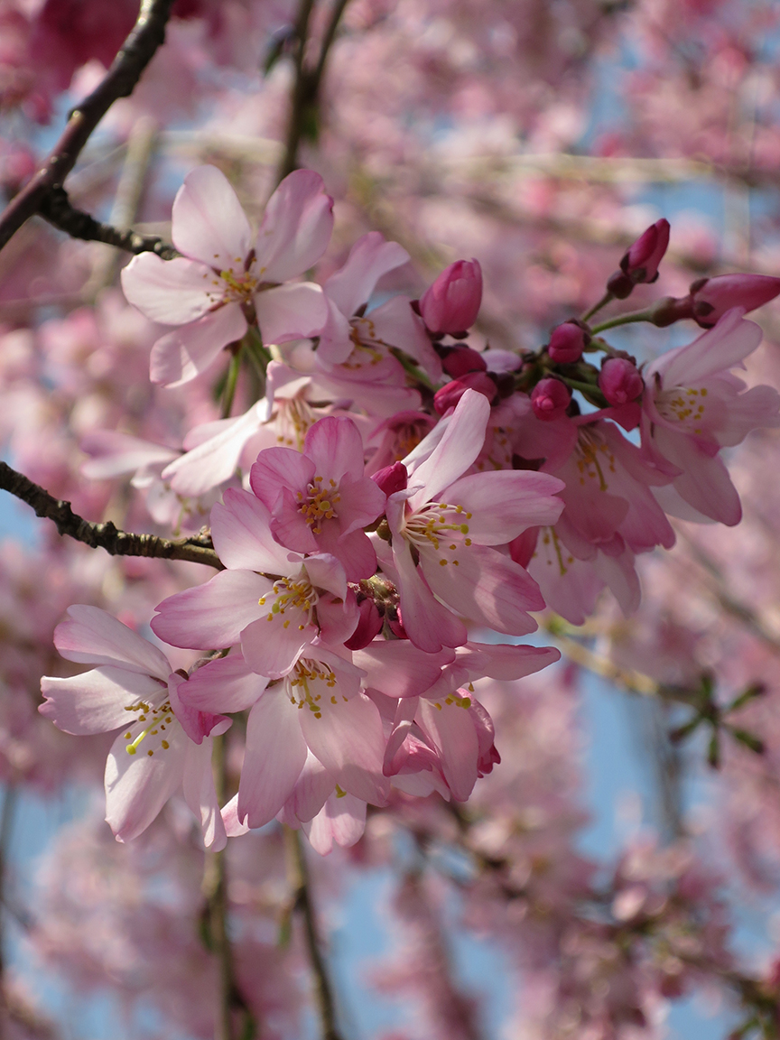 There are only a few cherry trees along the Imperial Palace moat near the EAst Garden, but they're unusual varieties
