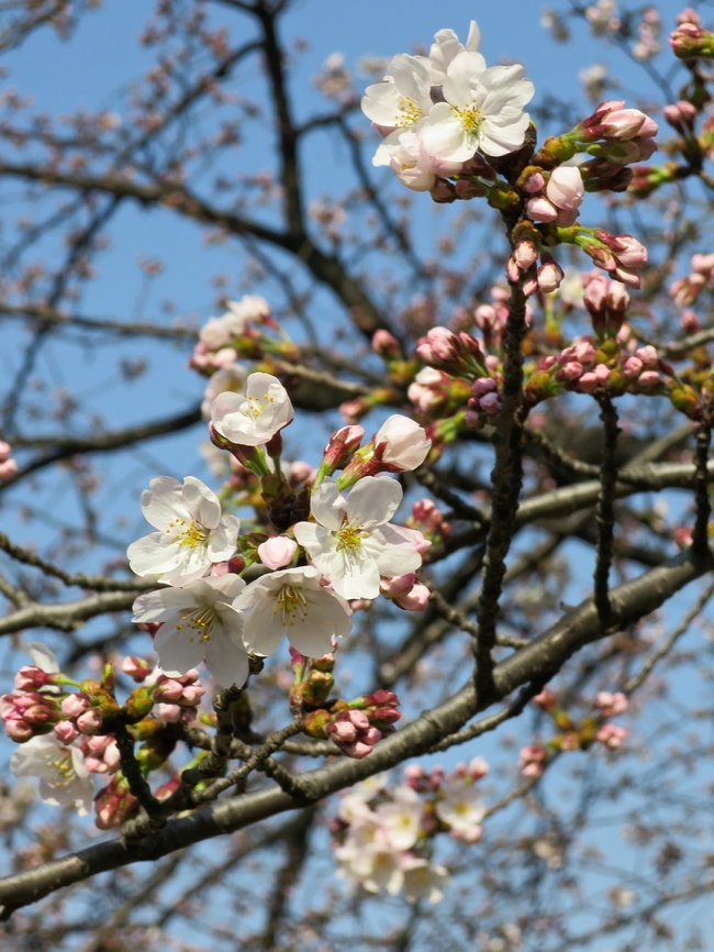 I went to Korakuen garden on a sunny day, just as the cherry trees were starting to bloom