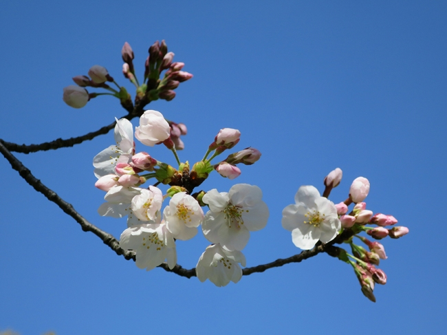 At Kiyosumi-Shirakawa garde, they had exacatly one blooming cherry tree, but it was worth the price of admission.