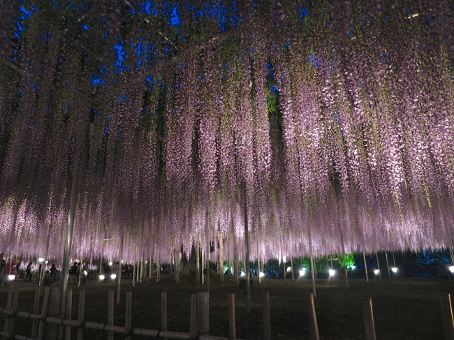 Size matters: these wisteria flowers are over a meter long!