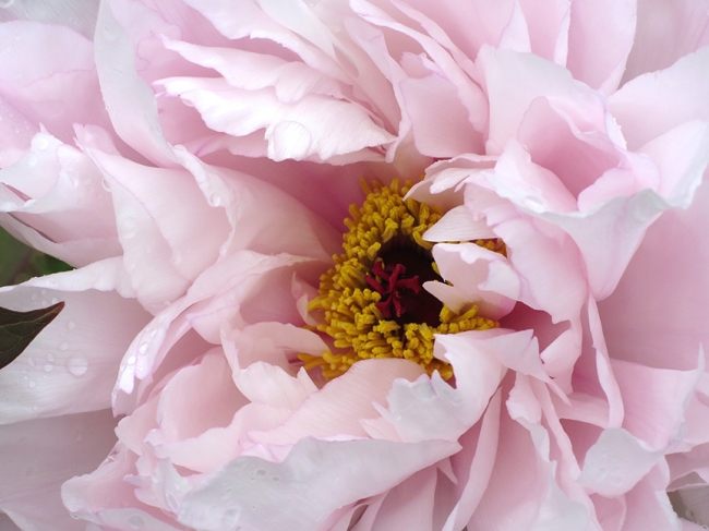 PeonyPalePink