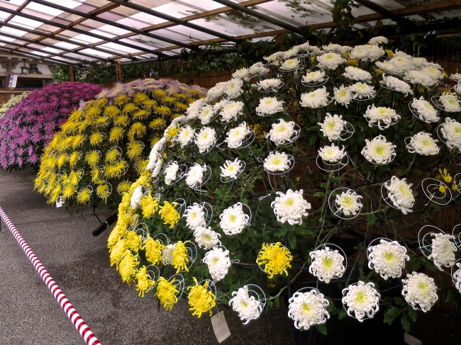 Great balls o' chrysanthemums, each of these is ONE PLANT.