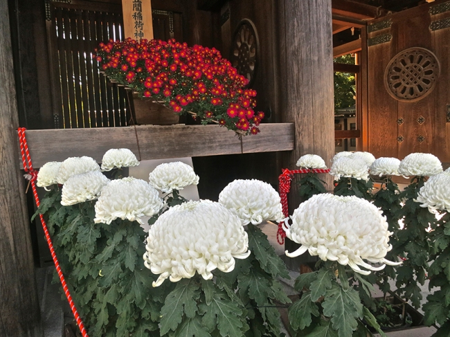 What the Meiji Shrine chrysanthemums lack in artistic innovation, they make up in perfection. I dare the gods to find any flaw at all in those white ones.