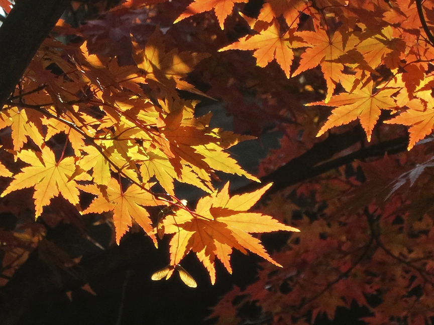 The momiji here turn very satisfying colors of red and orange.
