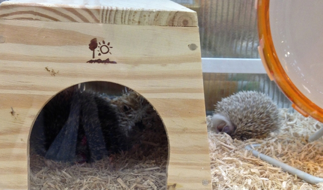 See that fluffy-looking little ball to the right of the Hedgehog Palace? This is what your new pet will look like during daylight hours.