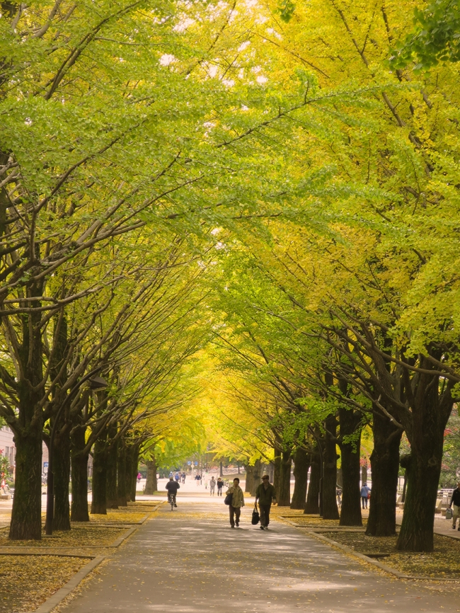 This promenade of gingko trees is quite majestic, and extends for several blocks in mid to late-November.