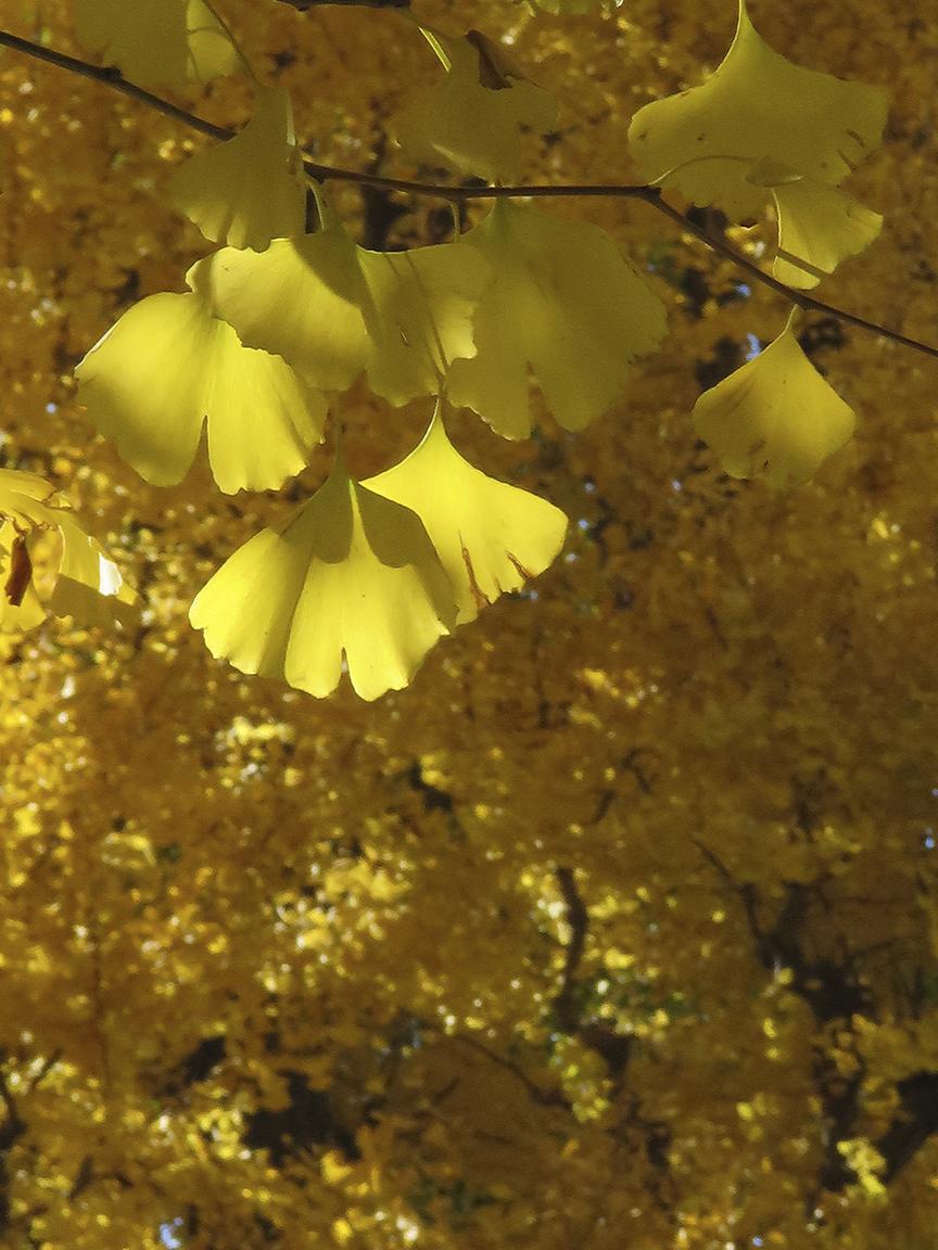 Gingko leaves at their peak, at Ichou Namiki