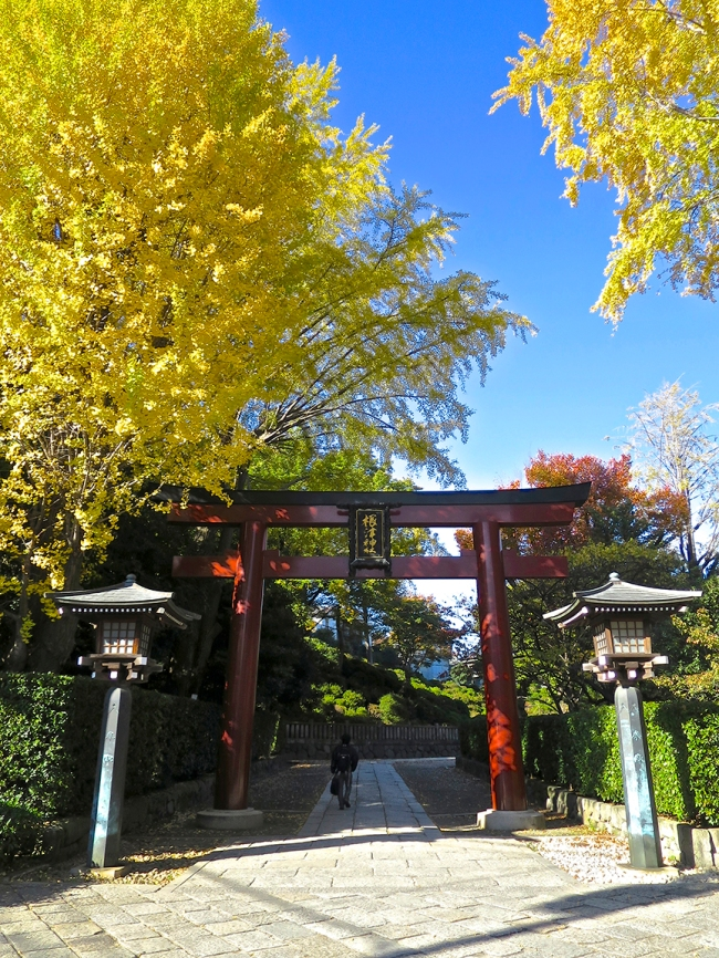 Golden gingko trees shade the red torii gate at the Nezu Shrine, starting in mid-November.