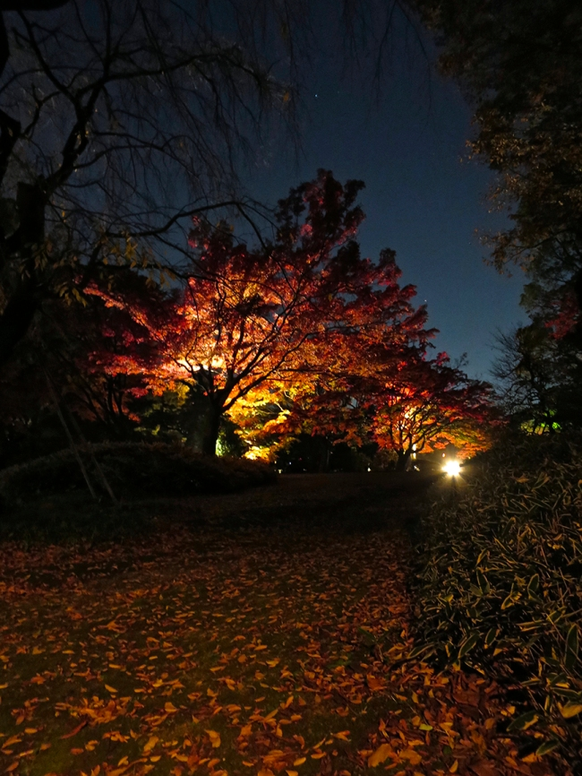 Bonus attraction: From the third week in November through the first week in December, the garden is lit up at night until 9:00 for your leaf-viewing pleasure.