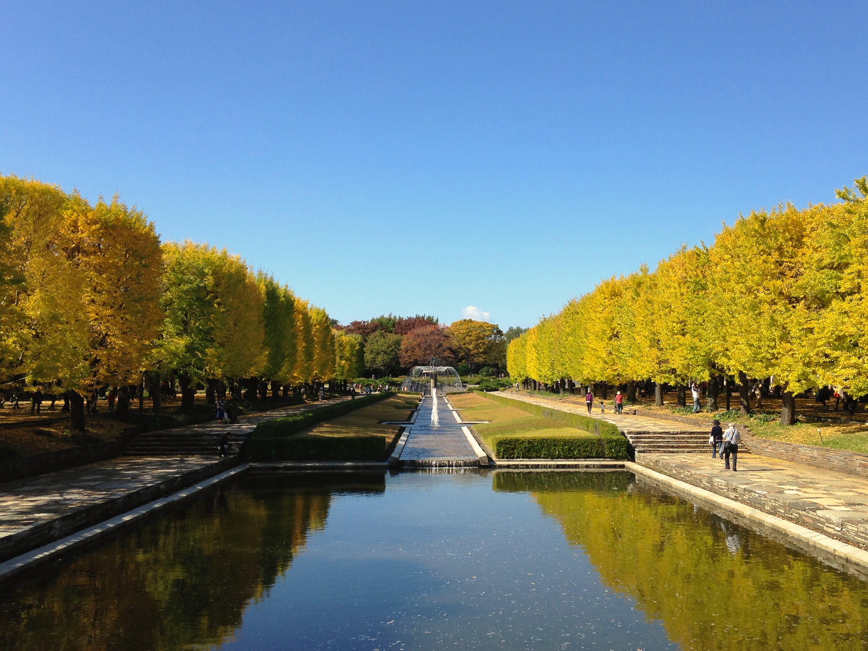 This gorgeous promenade of gingko trees hits it's peak after the Japanese maples, around mid-November.