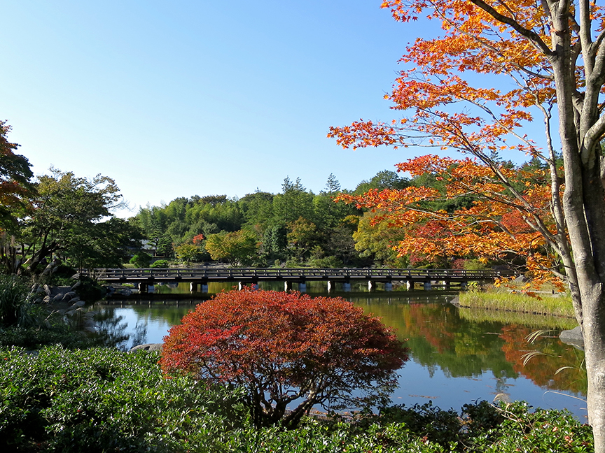 The Japanese maples turn color early in the Japanese garden at Showa Kinen. Look for them in early November.