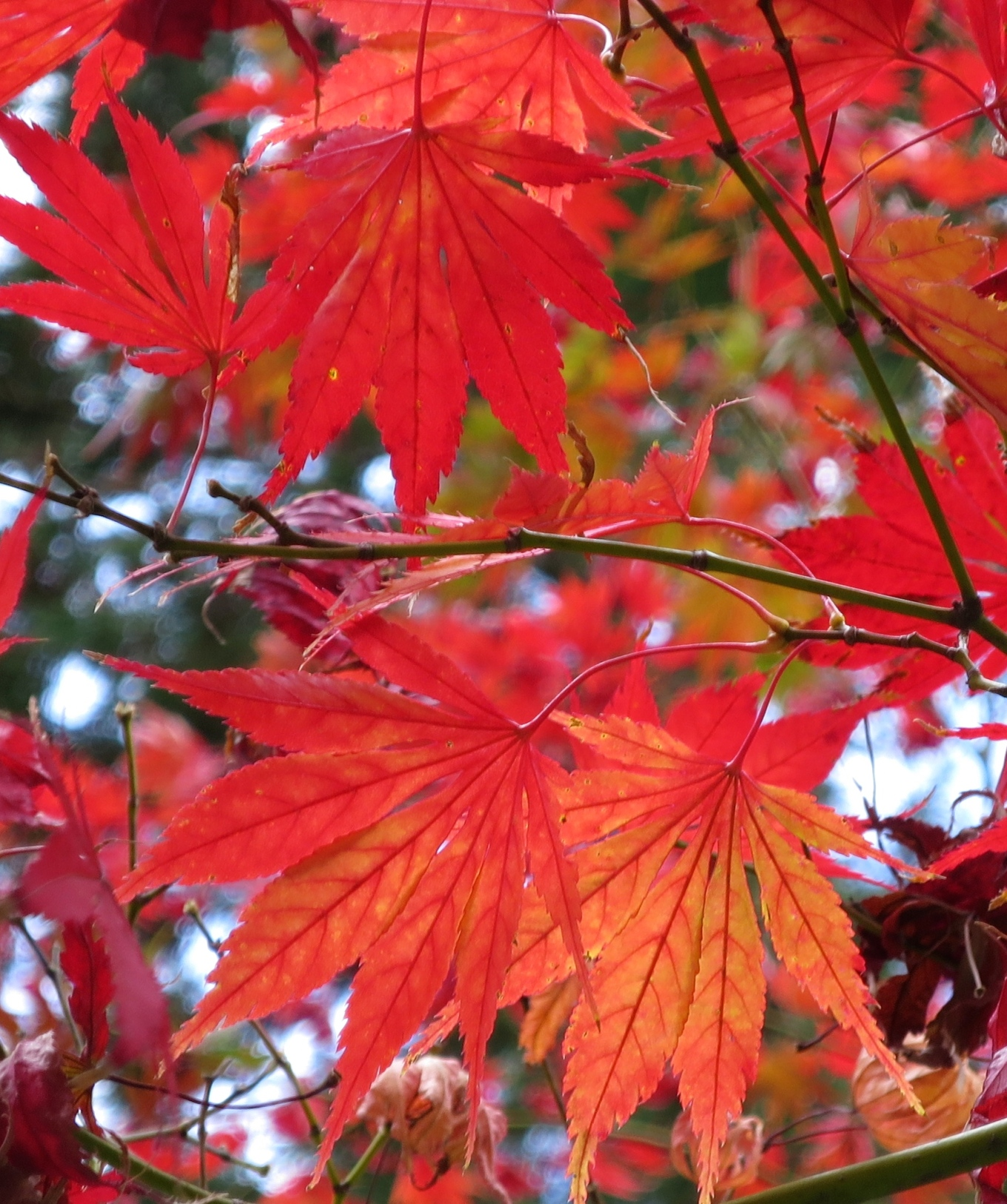 The maples are in full color by the end of November.