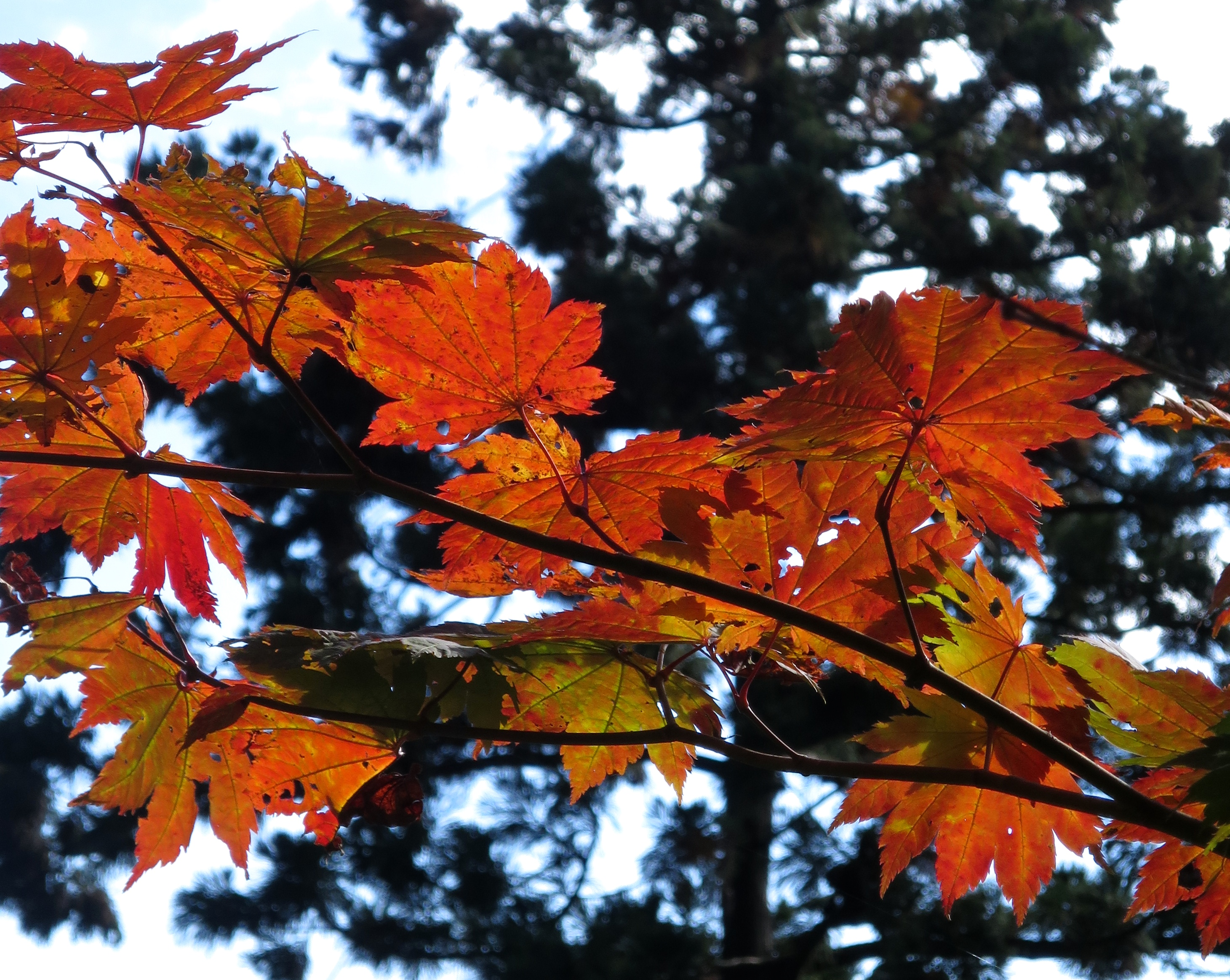 You'll be amazed by how many different kinds of maple trees there are.