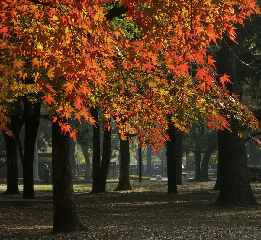 The trees at Yoyogi Park are big, so you can really feel like you're walking through a forest of yellow and red.