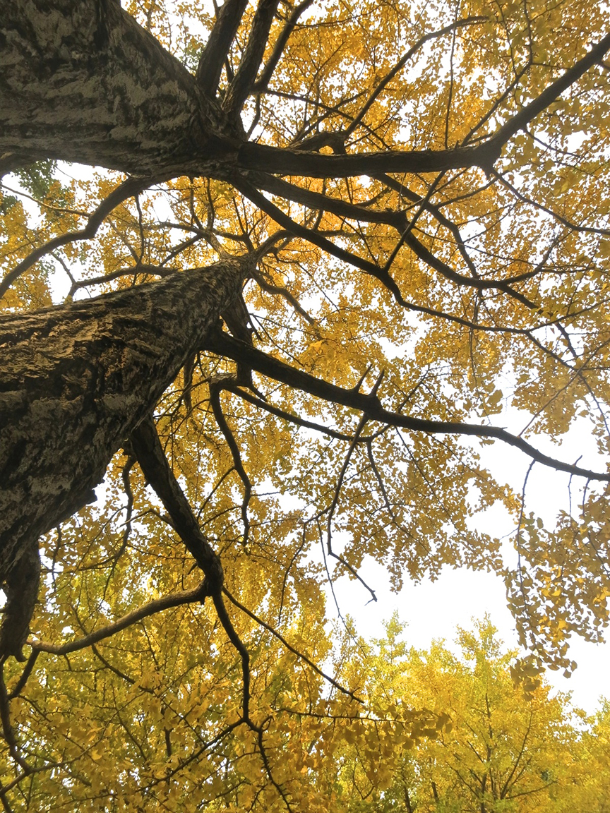 Towering gingko trees are bright yellow, starting in mid-November.