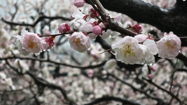 And don't be deterred if it's raining – I think the plum blossoms are at their most beautiful in the rain! (And you'll have the garden to yourself, too!)