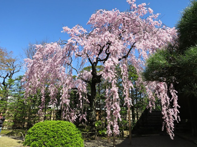 There are two famous cherry trees in this garden – you can't miss them, and they do not disappoint!