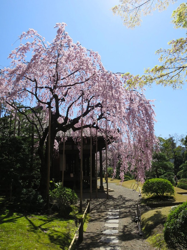 This secret garden is hidden right in the middle of the hustle and bustle of Senso-ji temple and it's only open around cherry blossom season, so most people don't even know it's there.