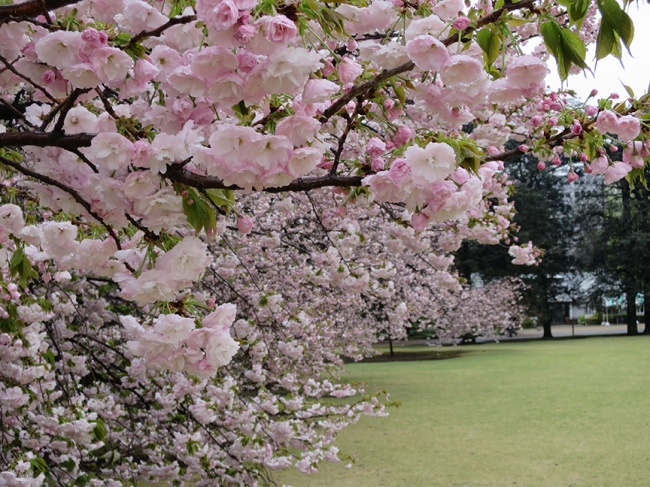 This is by far the best place to see yaezakura in Tokyo. Lots of late-blooming trees, in every color of pink you can imagine.