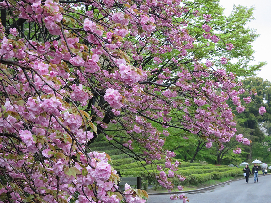 Some choice pink yaezakura cascade over the tea bushes at the Imperial Palace East Garden