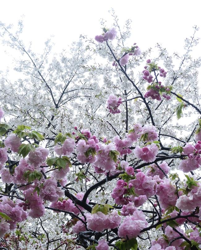 Double yaezakura start blooming just as the regular sakura start to fade.