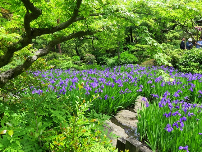 Admission to the Nezu Museum includes admission to their lovely garden, and in mid-May, this gorgeous display of iris coincides with...