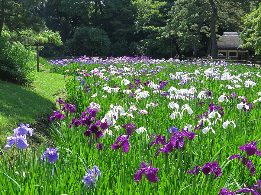 Iris Are At Their Peak In This Garden From June 1 U2013 15