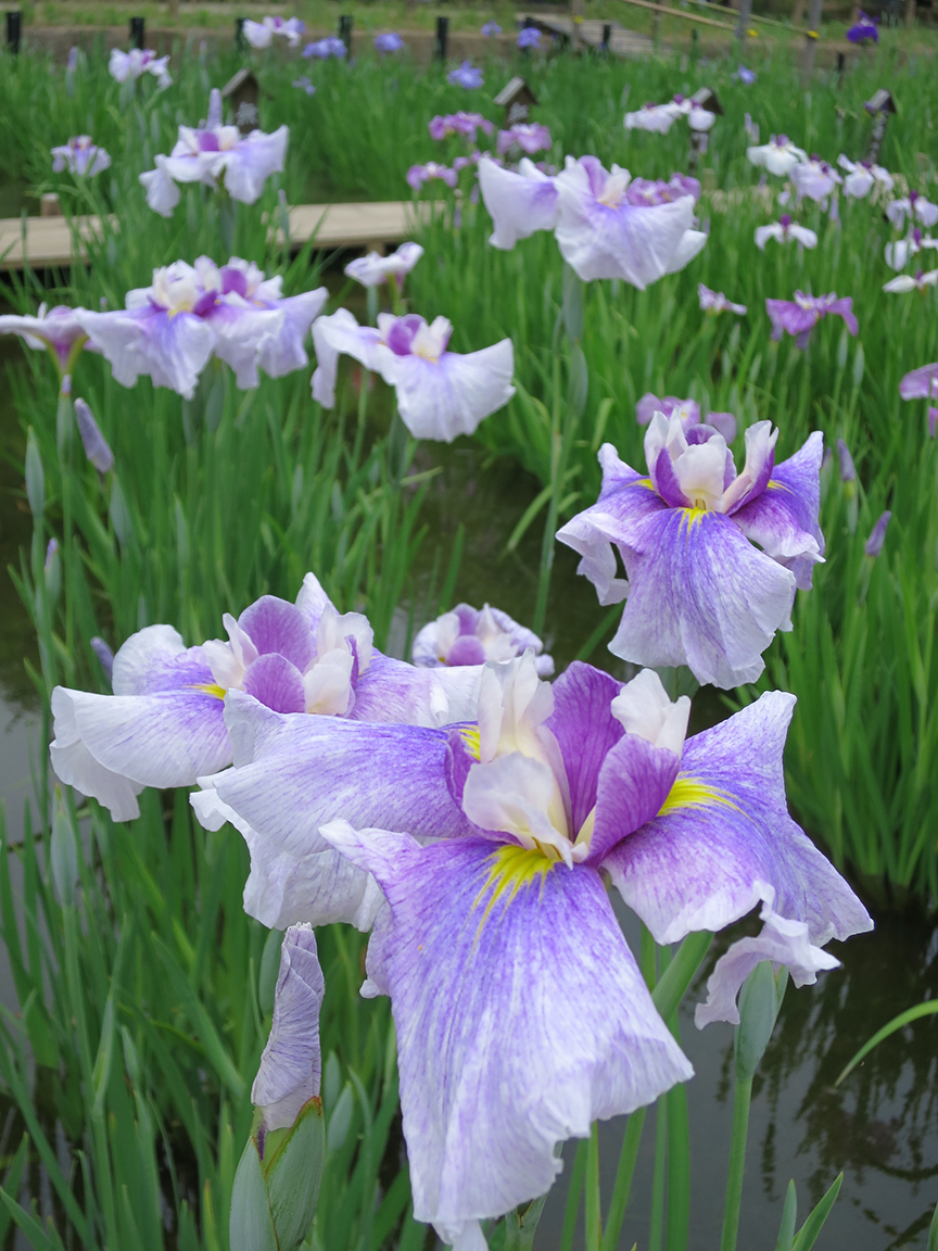 Where to see the best iris gardens in tokyo jonelle patricks only iris are at their peak early in this garden from june 1 15 izmirmasajfo Gallery