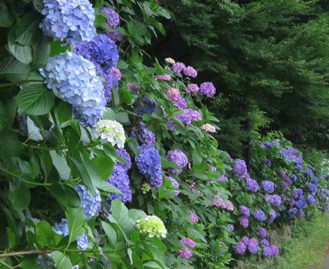 The famous banks of hydrangeas are not actually in the park – they border the train tracks between the park and Oji Station. Stairways lead down to the path from the park, though, and you can easily get there from any direction.