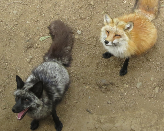 I was surprised by how many different kinds of foxes there were. Not just the red kind, but black ones and brindle ones and white ones too.