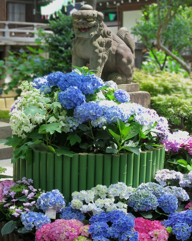During the Ajisai Festival (the second week in June very year) the fu-dogs greet visitors with a crazy bouquet of living hydrangeas.
