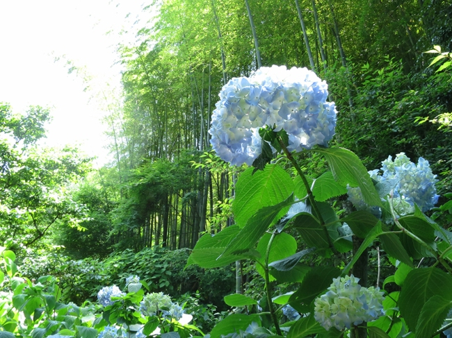 Hydrangeas and bamboo