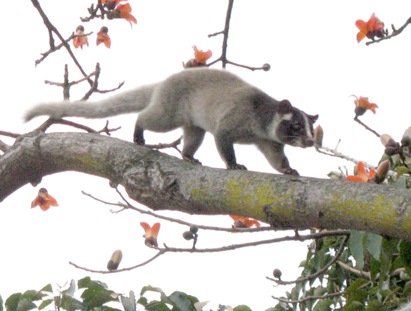 Thank you, Wikipedia, for a much better pic. You can read more factoids about these fine furry friends on the Masked Palm Civet page.