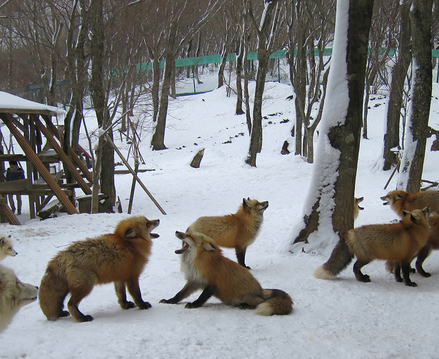 I choose to believe these foxlings were not trashtalking my ugly snow boots