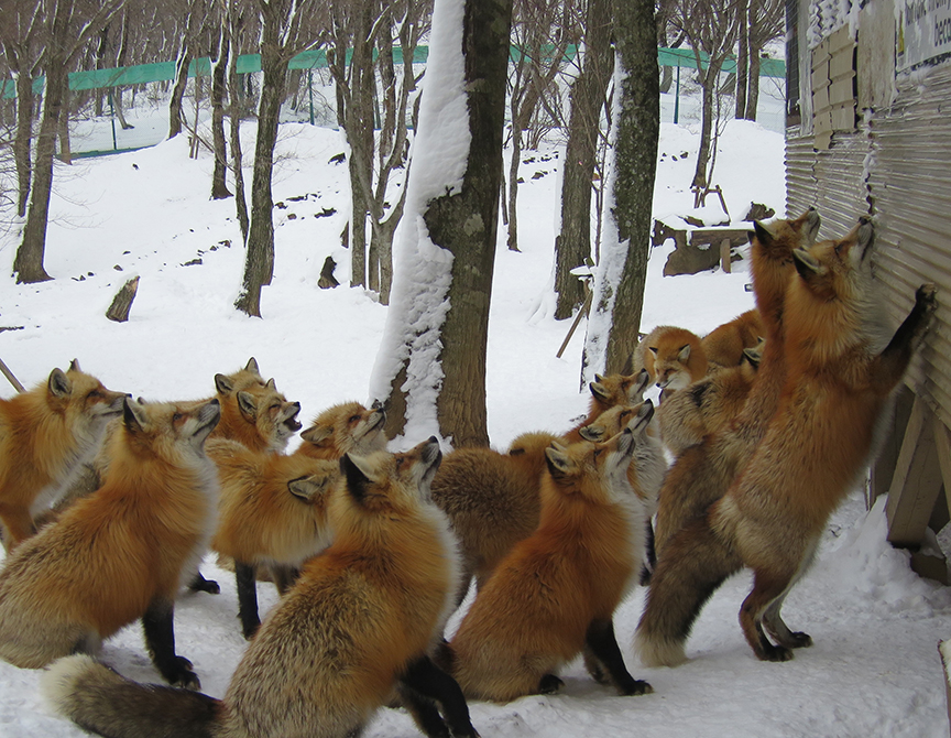 Although there were plenty of foxes running around, ready to gather at the food platform when anyone appeared with a bags of snacks.