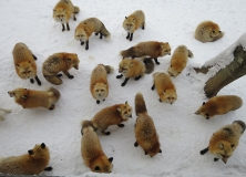 I guess all those baby foxlets grew up, because it seemed like there were a lot more foxes this time