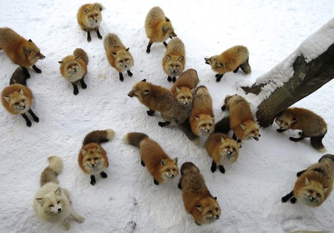 FoxVillage8