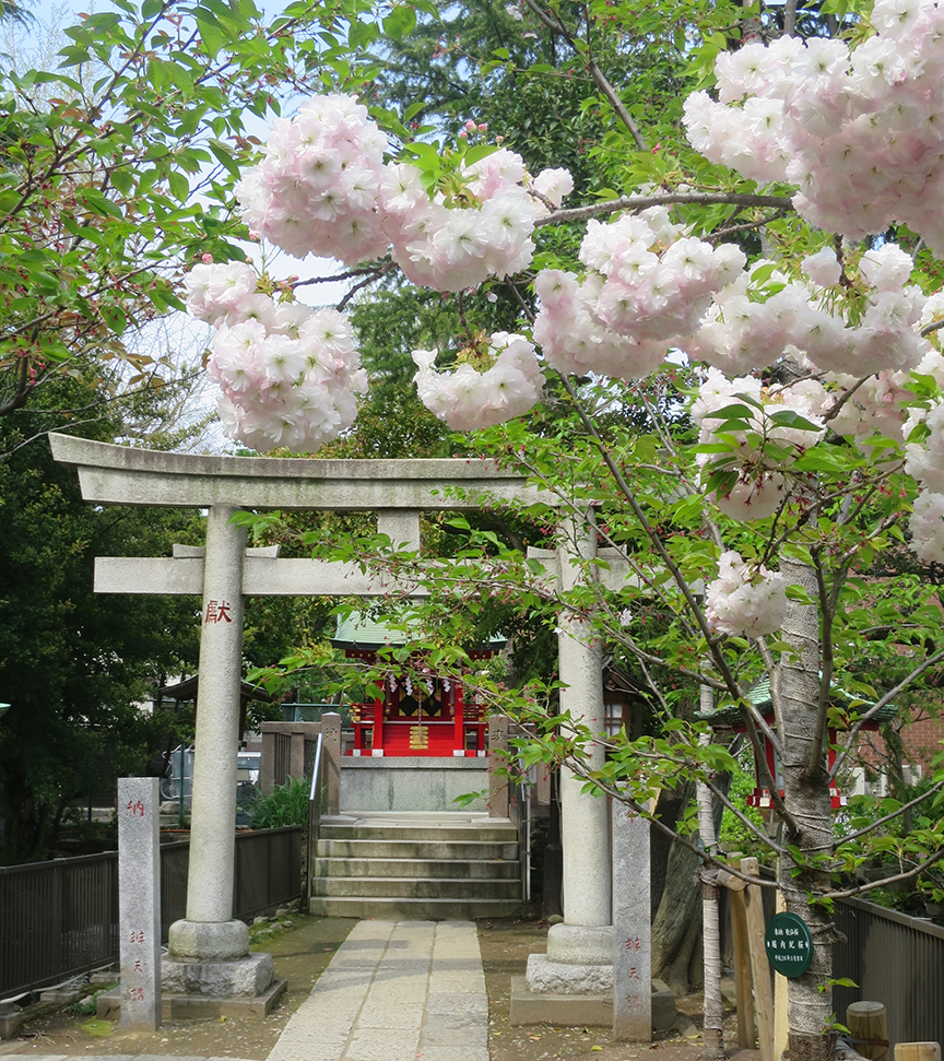 SPOT 3#: There's a particularly beautiful kind of late blooming cherry at the Tomioka Shrine.