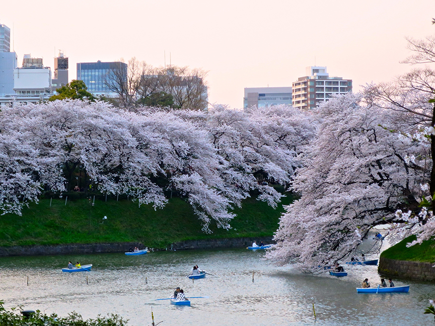This wave of pink is all along the Imperial Palace Moat, as you walk from Kudanshita Station toward Hanzomon Station