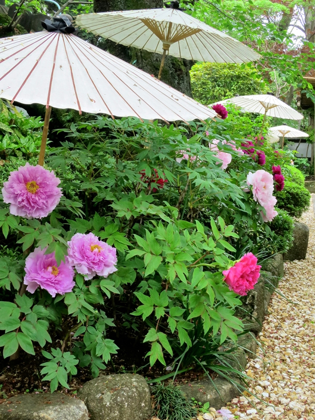At this shrine near the pagoda in Ueno Park, each bush has its own umbrella to protect the fluffy goodness from the weather.
