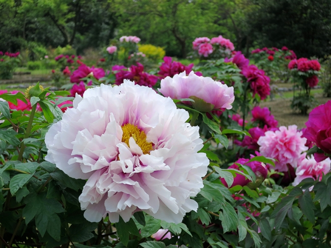 Haha-rikyu's peony garden is always uncrowded, and laid out among orderly paths for easy picture taking