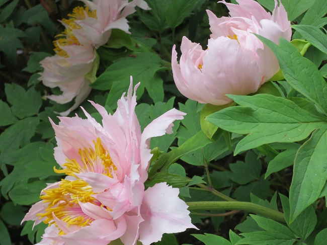 Check out these pointy beauties! Peonies for Goths. lol.