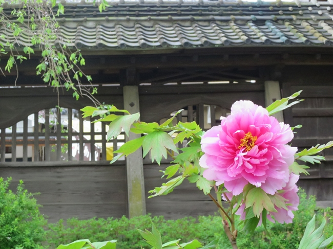 There are several peony gardens dotted around the temple grounds, so don't stop exploring after you see the main one!