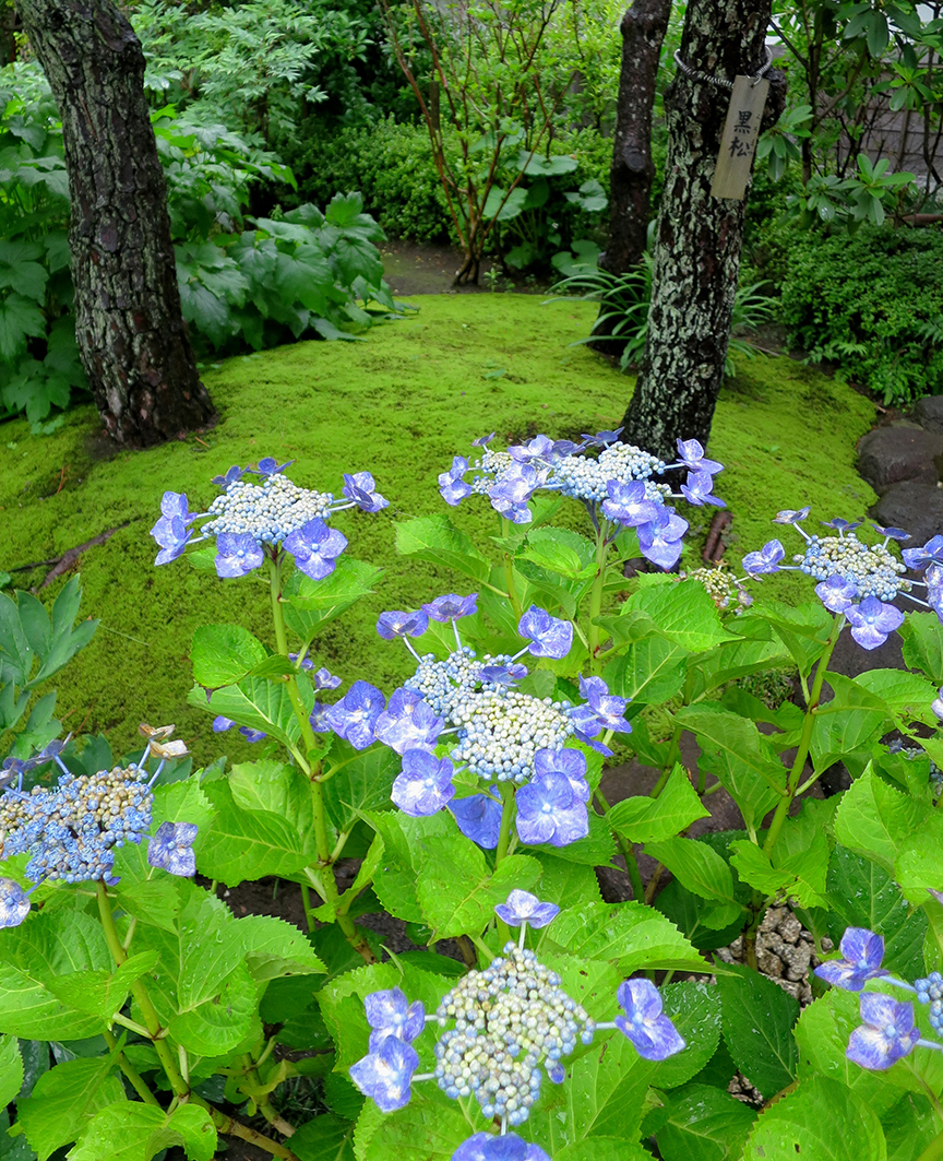And in Japan, they bloom during the peak of Moss Season, thus making the eye candy element almost unbearable.